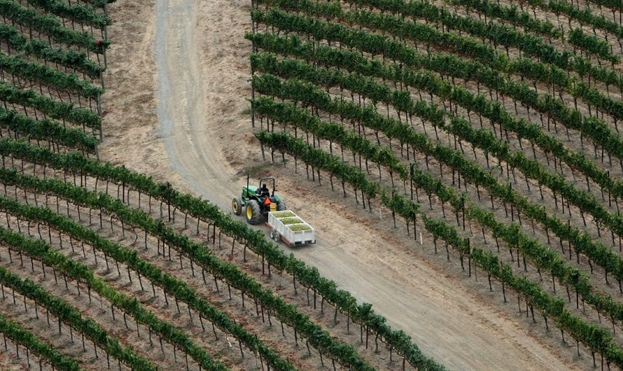 Wine vs. weed in Napa Valley